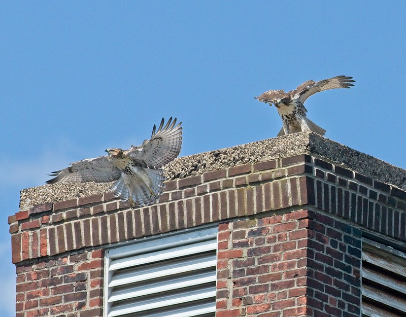 Governors Island red-tail fledglings