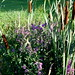 Cattails and Purple Flowers