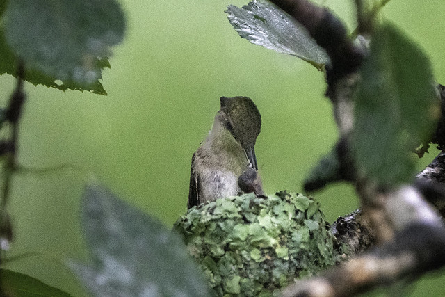 A Ruby-throated hummingbird feeds a hatchling in the nest in Aitkin, Minnesota
