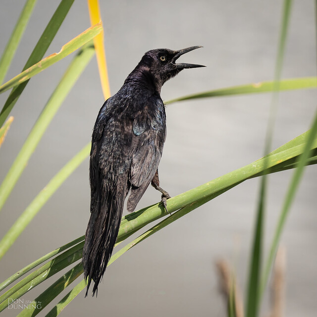 Boat-tailed Grackle Male (Quiscalus major)