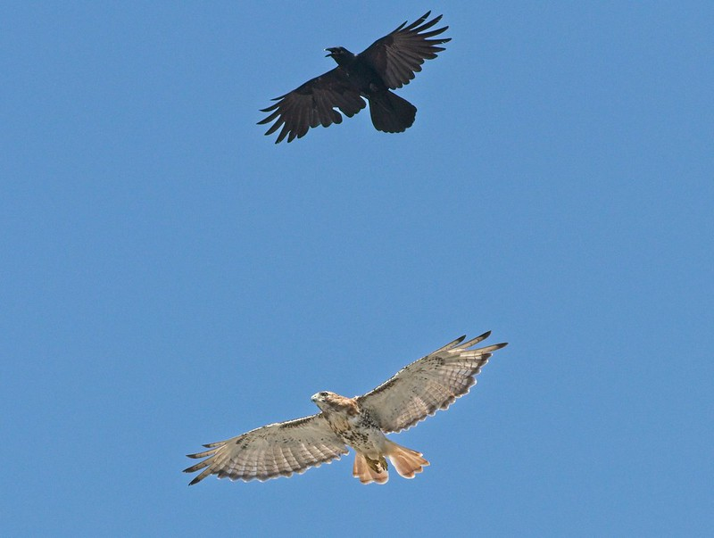 Fish crow and red-tailed hawk