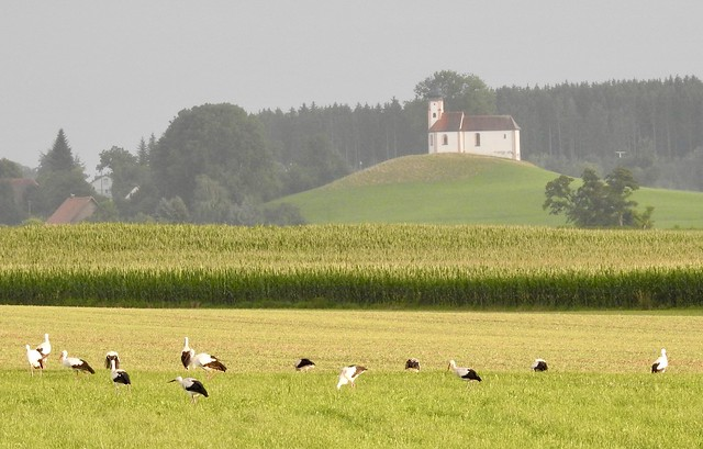 14 von 19 Störchen bei Bad Waldsee-Wolpertsheim  im Hintergrund Volkertshauser Kapelle.