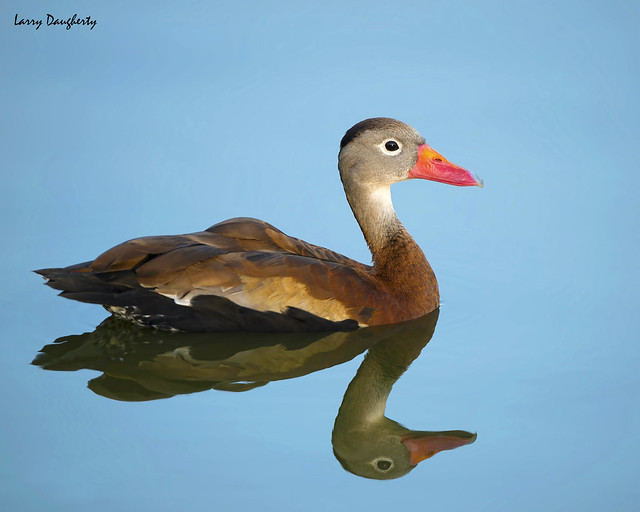 Black-bellied whistling duck.....D800