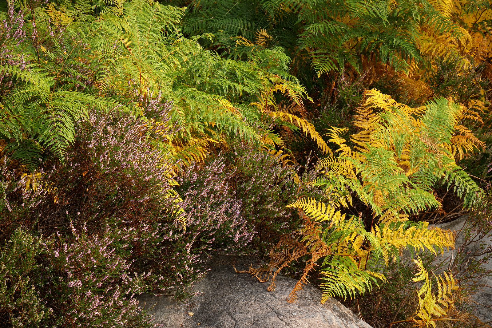 Effects of drought and heat on heather and ferns