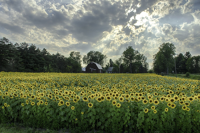 great little field of sunflowers in rural Michigan (in Explore)