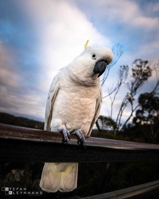 Mr Cockatoo