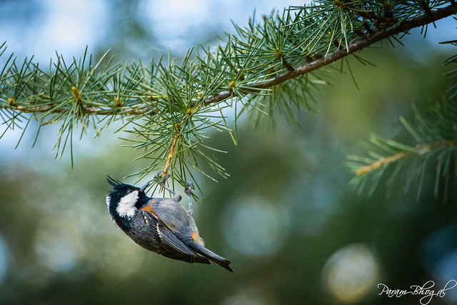 Black-Crested Tit (PB2_0162)