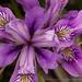 Iris munzii, 4.17.17