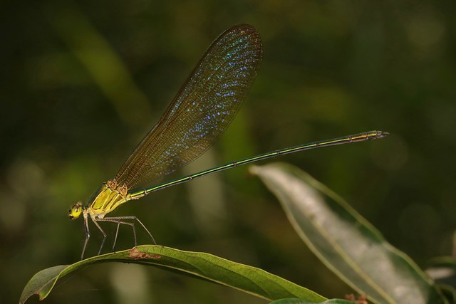Clear-winged Forest Glory (Vestalis gracilis, Calopterygidae)