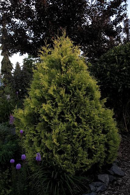 Pyramidal Cedar