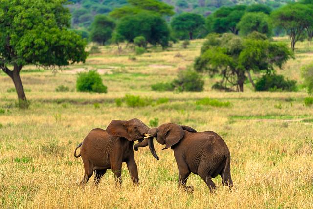 Elephants wrestling in Tanzania
