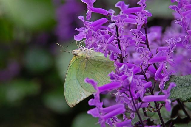Lemon Emigrant (Catopsilia pomona) - Kuala Lumpur Butterfly Park - Kuala Lumpur, Malaysia - Jan 2020