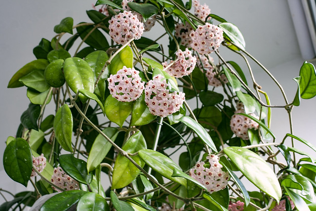 Hoya carnosa with many blooms. The aroma is amazing!  😇
