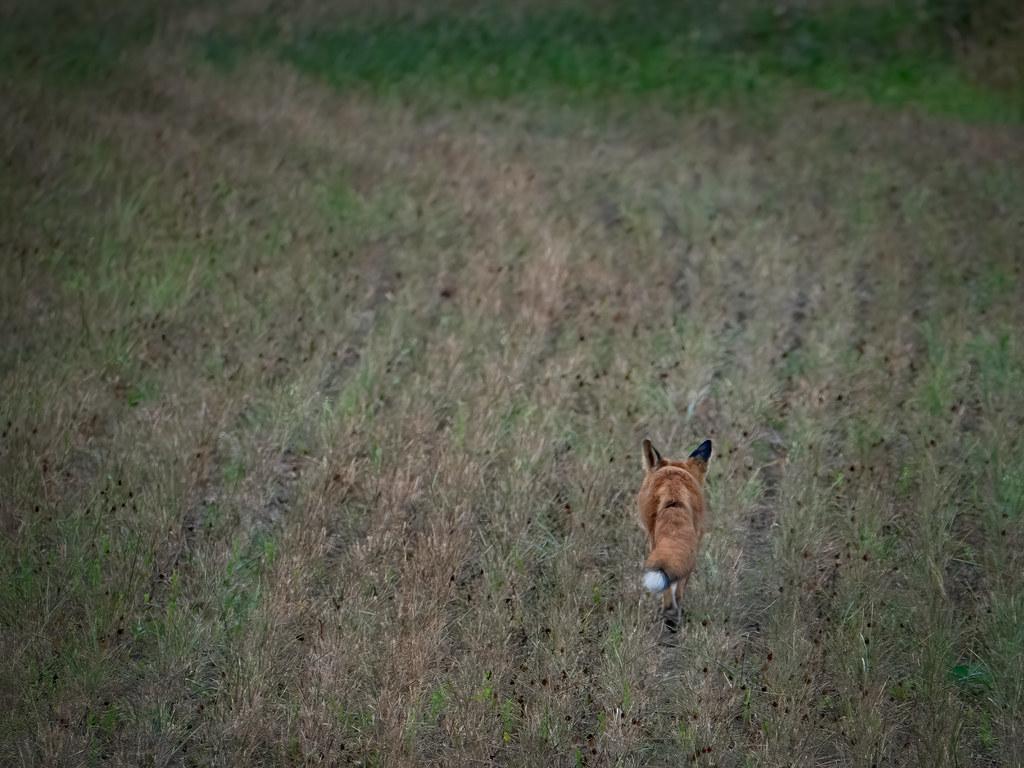 La course du renard à travers les champs, la suite... 50228457013_cf28f8fe24_b