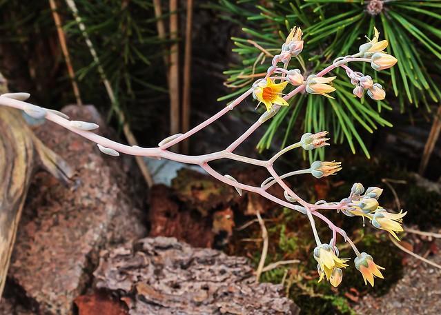 x Graptoveria 2011-91; Crassulaceae (2)