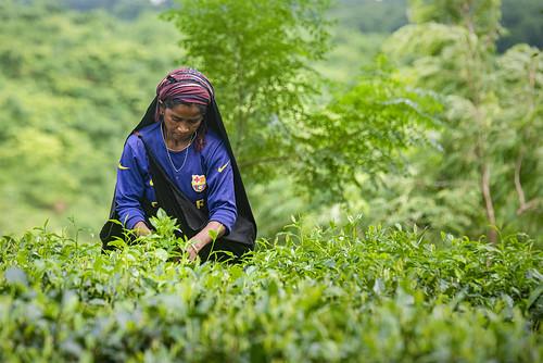 chandpurbelgaonteagarden banshkhaliteagarden banshkhali tea garden people tavelbangladesh teagarden teagardensinbangladesh teaworker teagardenworker teaestate green chittagong bangladesh বৈলগাও