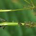 Springkraut-Röhrenblattlaus