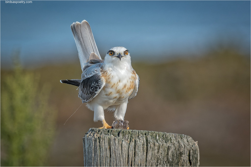 Black-shouldered Kite: Territorial