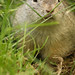Richardson-Ziesel (Lat. Urocitellus richardsonii)