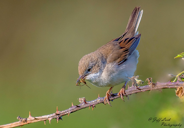 DSC7763  Whitethroat...