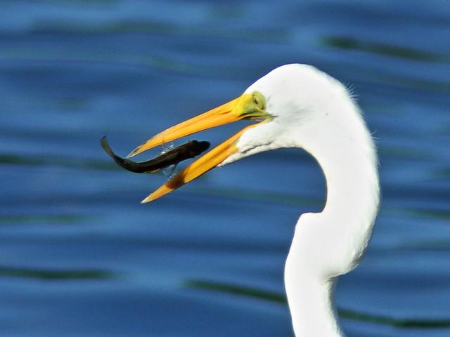 Great Egret flipping fish 20200814