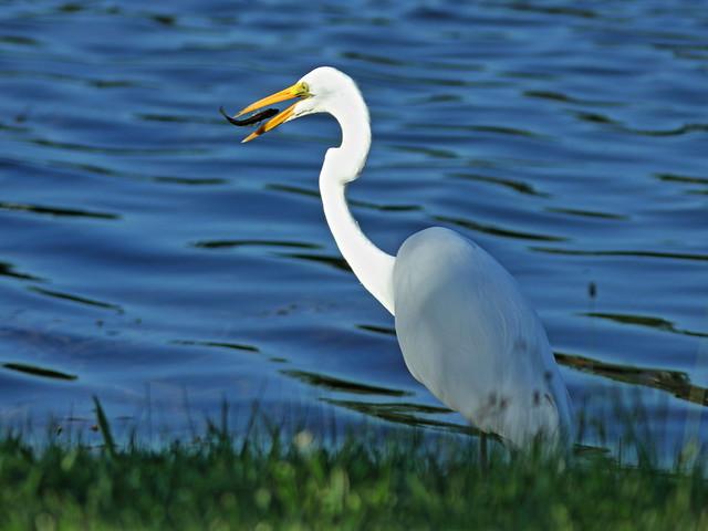 Great Egret flipping fish 01-20200814