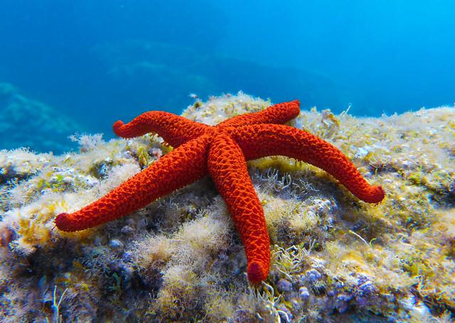 starfish / estrella de mar
