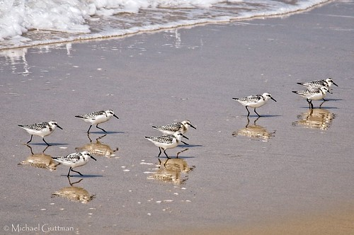 california shorebirds sanderlings beach surf foam seafoam sand reflections redondobeach southerncalifornia nikond90 coast coastal pacificocean hermosabeach