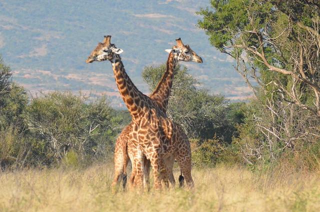 Wonderful Giraffes