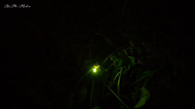 Beauty of Nature - Firefly