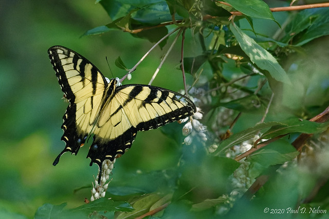 _DSC4766 Eastern Tiger Swallowtail at Callaway Resort & Gardens, Pine Mountain Georgia