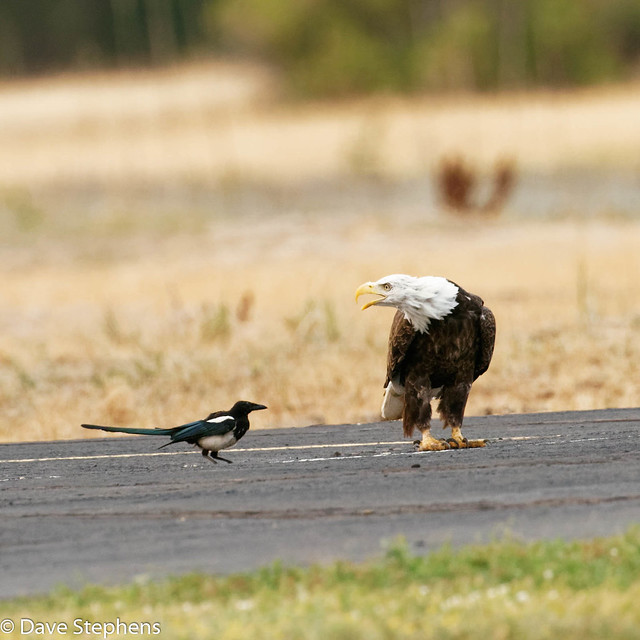 Eagle And Magpie Disagree
