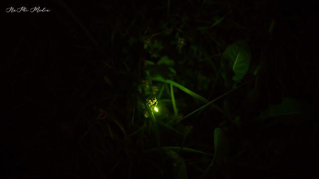 Beauty of Nature - Mountain Firefly