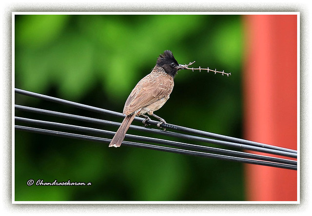 10151 - red vented bulbul with nesting material