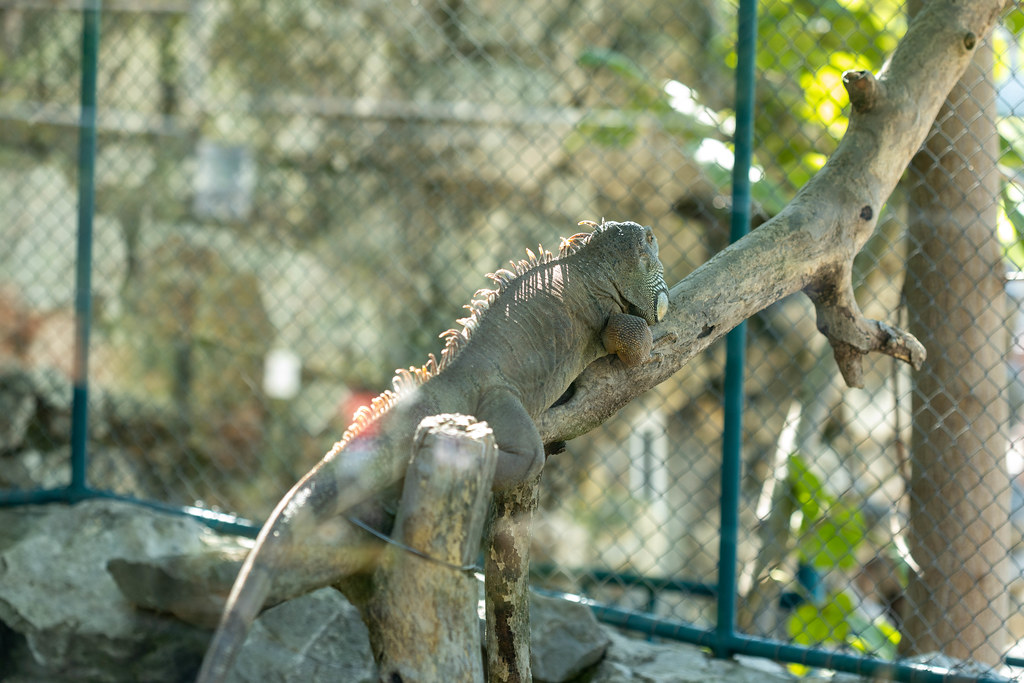 Iguana laying on the tree on a sunny day in the Belgrade Zoo