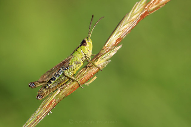 Meadow Grasshopper W - SR1A1176