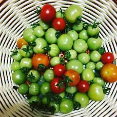 2、3本前定して青いトマトは追熟させてみる