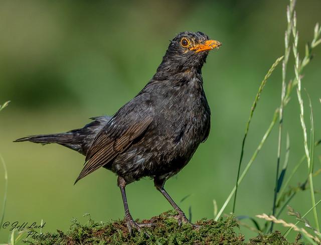 JWL7440 Blackbird...
