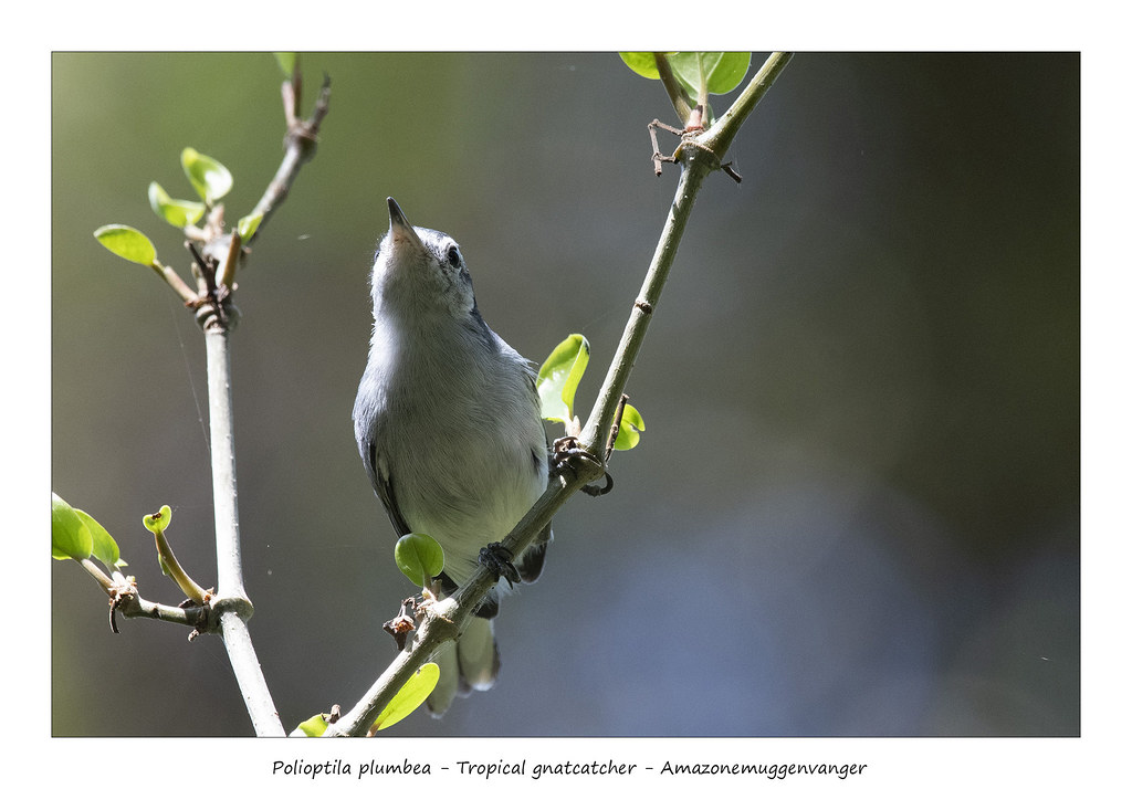 Tropical gnatcatcher #1