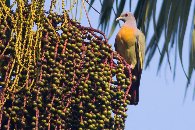 Pink-necked Green-pigeon  - male