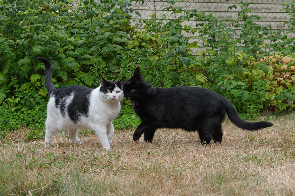 Our cat Emma sniffs out cat Scout while playing in the backyard in August 2008. Original: _MG_7214.cr2