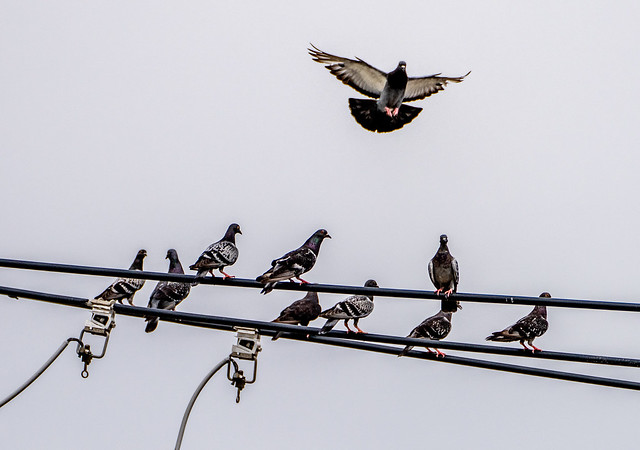 Pigeons on telephone wire