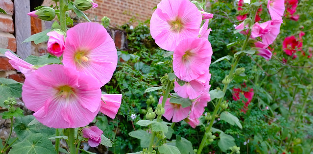 Hollyhocks Norfolk