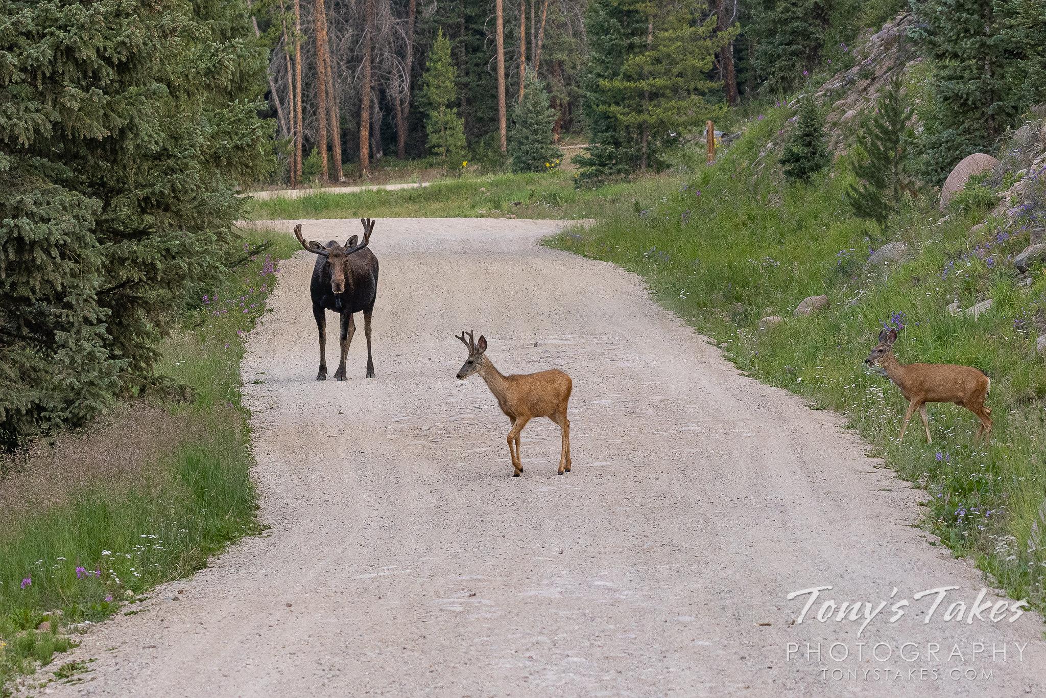 Moose bull guards the road, chasing off deer