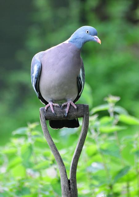 Wood Pigeon on a Garden Spade