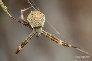 Cross orb weaver (Argiope hoiseni) - DSC_1848