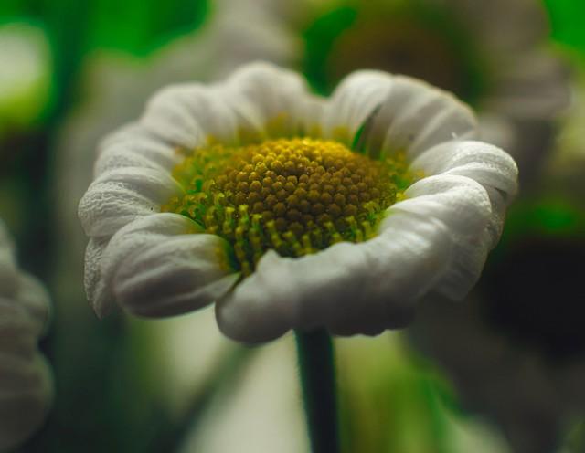 Daisy - macro