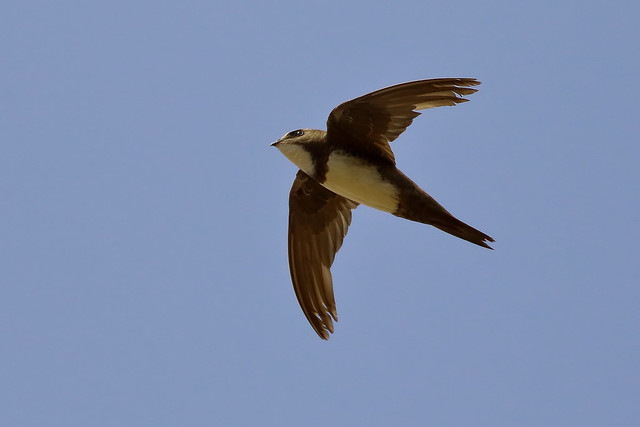 Andorinhão real - Apus melba - Alpine swift