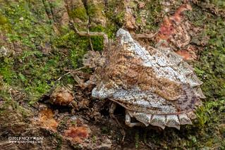 Shield bug (Amasenus corticalis) - DSC_2132