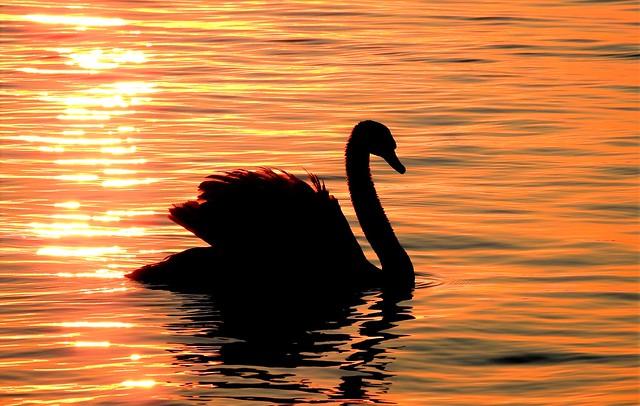 Schwan im Morgenlicht